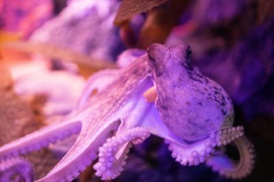 Oktopus in pupur schimmernder Umgebung