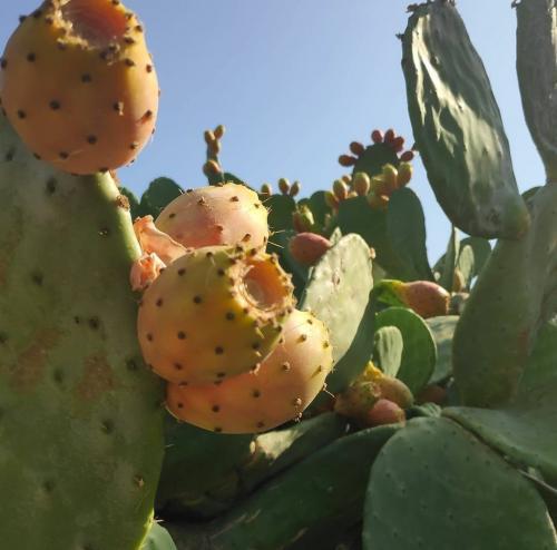 Rund Korfu Felsen Agios Giordios Kaktusfeigen am Kaktus